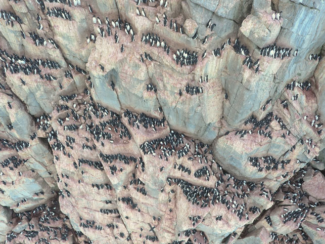 A colony of thick-billed murre on a Coats Island cliff.