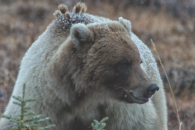Grizzly bear sitting in the snow