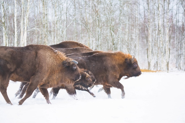 Bison running through the snow