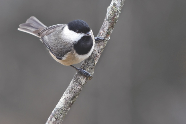 Chickadee perching on a branch