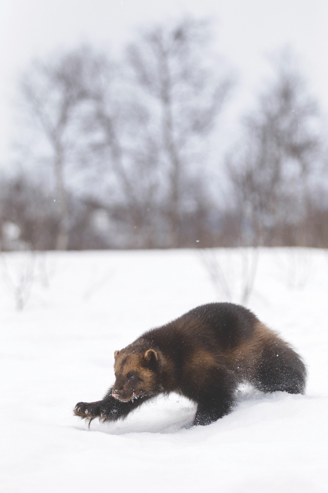 Wolverine stalking through the snow