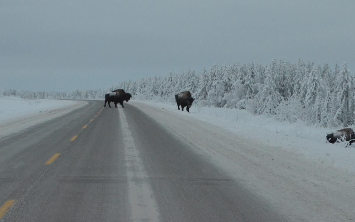 Bison on NWT Highway 3. Photo by Daniel Campbell