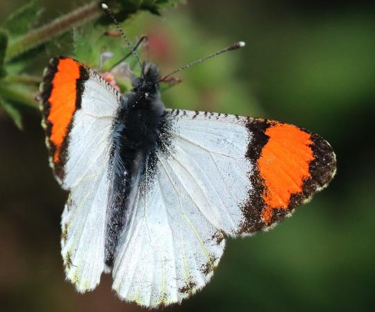 Orangetip Pacific butterfly. Photo Provided