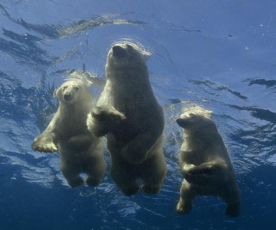 A family of swimming polar bears