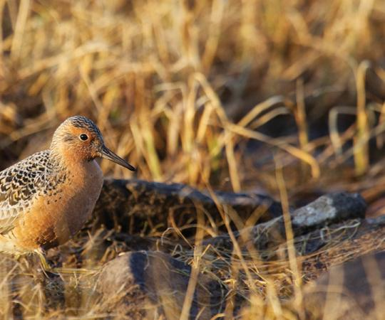 Red knot are frequent flyers. One has gone almost to the moon-and-back in its lifetime. Photos by Clare Kines