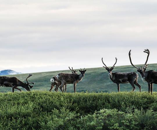 Porcupine caribou graze in the Blow River Valley, in northeastern Yukon.